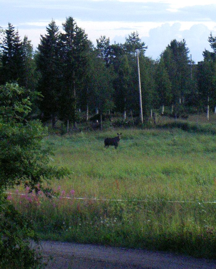 Moose at Little Big Ranch