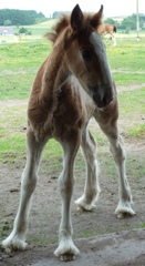 Redcastle Golden Dawn as a sweet little filly foal at Redcastle Clydesdale Stud summer 2010